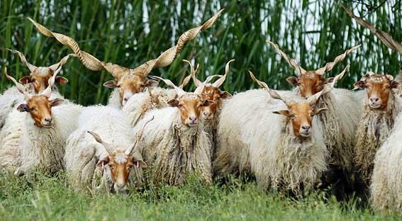 ovce Racka - tyto maďarské ovce chovají na farmě Hungaricum i tady v Čechách