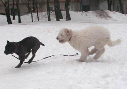 půlroční Dáridó na procházce s 5-timěsíčním štěnětem cane corso
