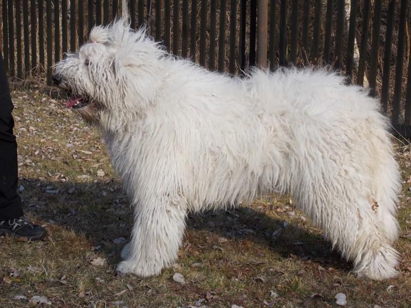 Fehér Kócos Komondor Kennel - Heidi, 11 months