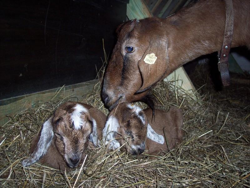 matka 50% AN koza, kozlíci 75% anglonubijští