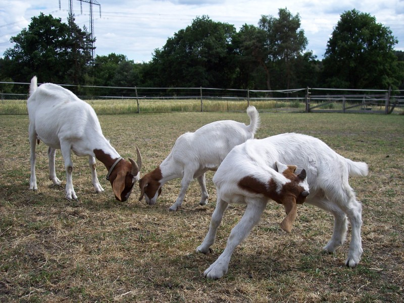 burská koza s kůzlaty