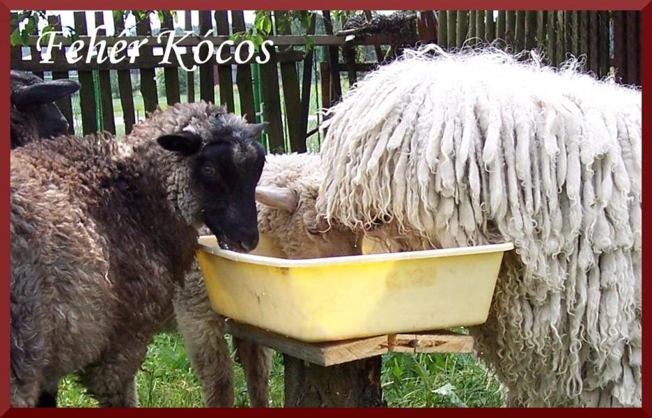 Komondor žije se zvířaty v symbióze - Elektra Fehér Kócos s beránky
