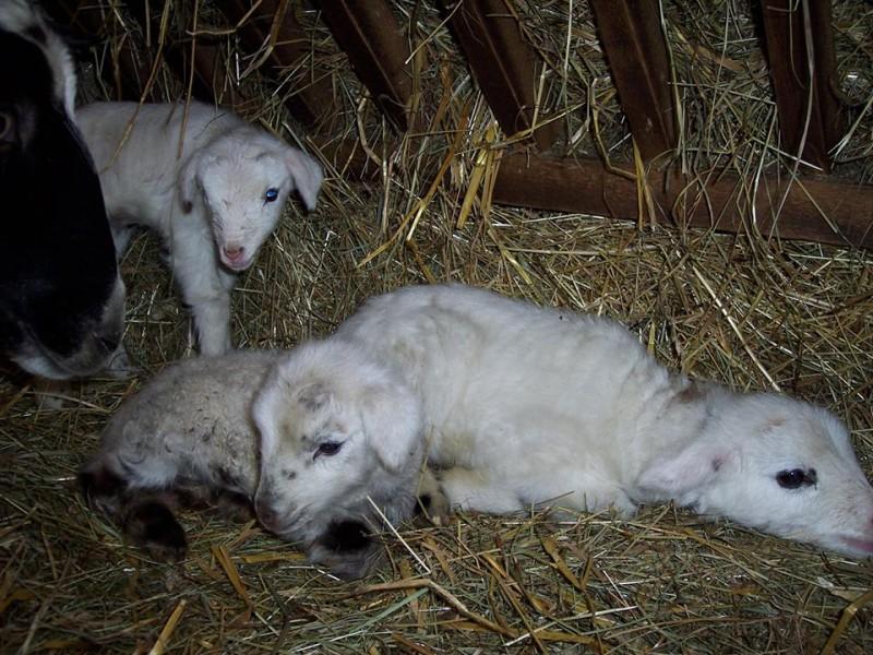 trojčátka ovce romanovské a masného berana