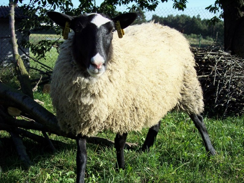 ovce Romanovská - Johanka ve věku 7 měsíců