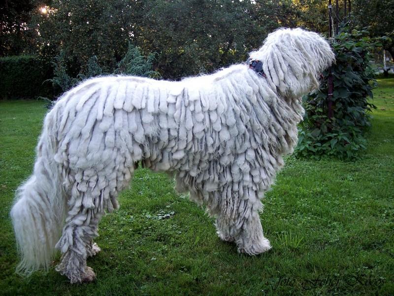 Komondor - Stud dog Cerberus Fehér Kócos (HD 0/0, ED 0/0)