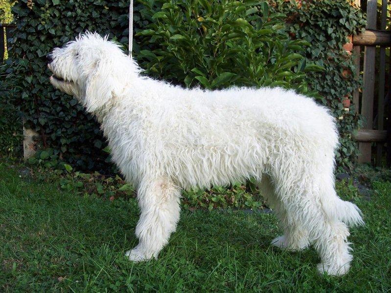 Csárdás Fehér Kócos - 5,5 months