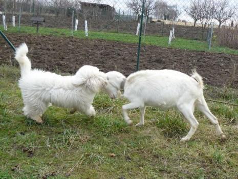 Erató se střetu s kozou nebojí :-)