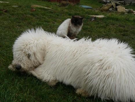 I kočka je pro pasteveckého psa přítel a je jí ochráncem, pokud není cizí...