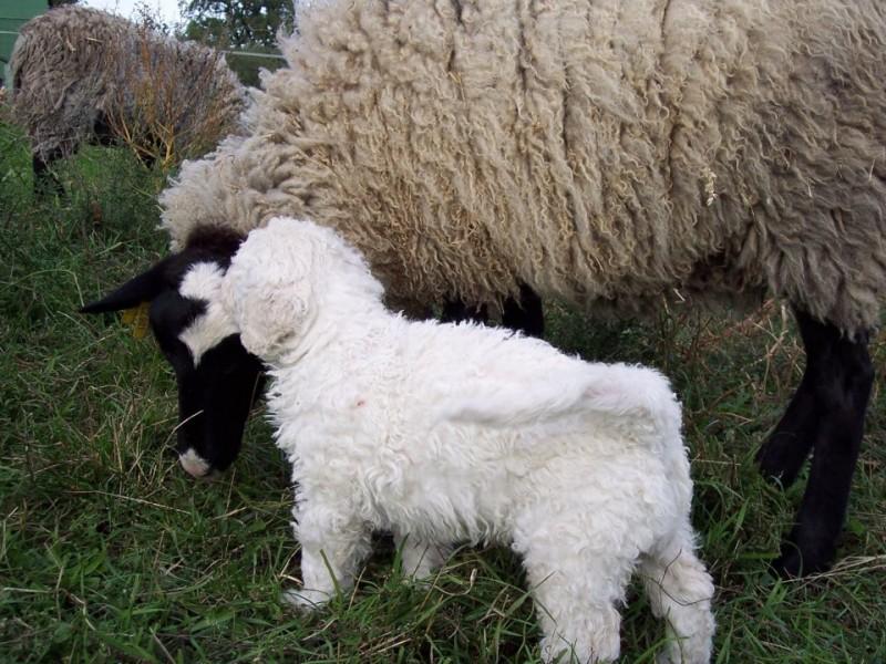 Romanovská ovečka a malý komondor z CHS Fehér Kócos