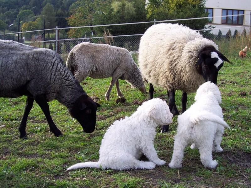 Komondor - CHS Fehér Kócos - kontakt štěňat s domácími zvířaty