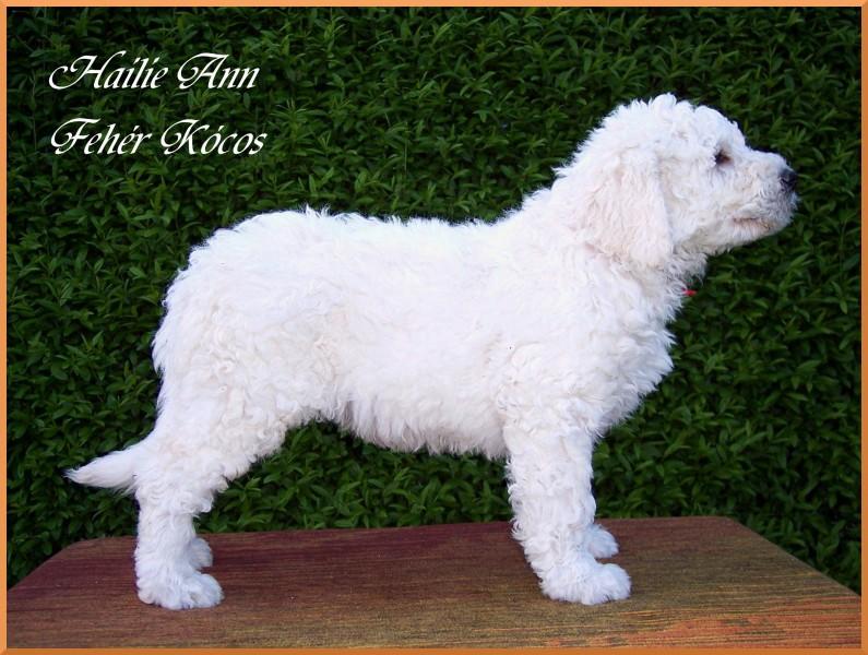 Hailie Ann Fehér Kócos - komondor puppy 7 weeks old