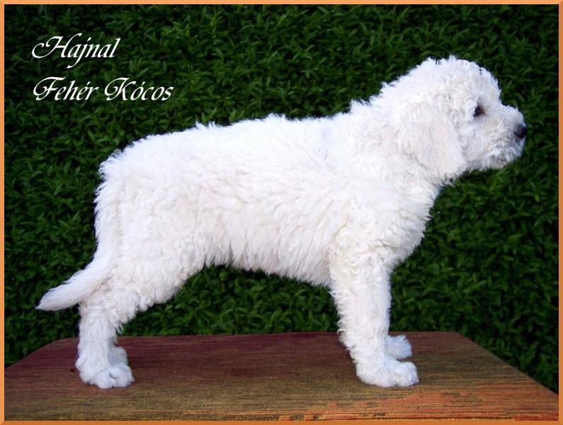 Hajnal Fehér Kócos - komondor puppy 7 weeks old