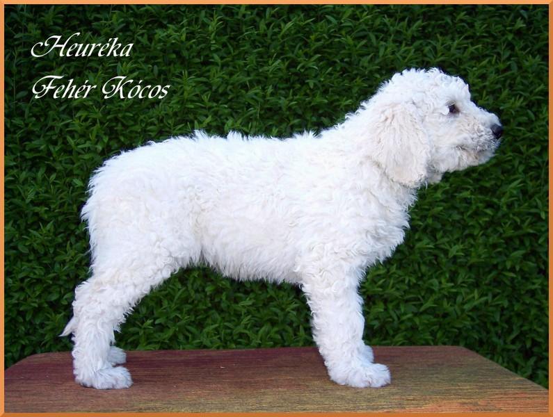 Heuréka Fehér Kócos - komondor puppy 7 weeks old